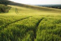 Champ de blé au soleil de l'été — Photo de stock