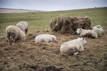 Ovelhas na paisagem da fazenda no dia ensolarado — Fotografia de Stock