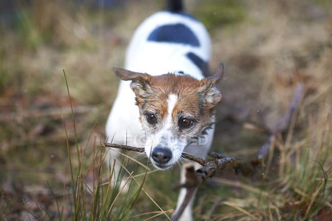 Jack russell terrier juega con palo - foto de stock