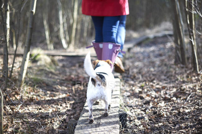 Jack russell terrier follows behind woman — Stock Photo