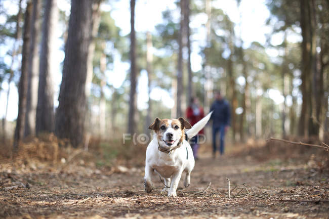 Jack terrier russell en bois — Photo de stock