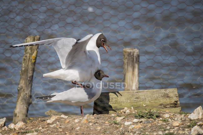 Красивой средиземноморской чайки — стоковое фото