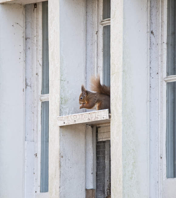 Red squirrel sitting in window frame — Stock Photo