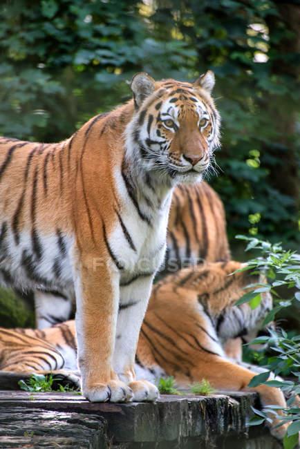 Tigres de Bengala en peligro de extinción - foto de stock