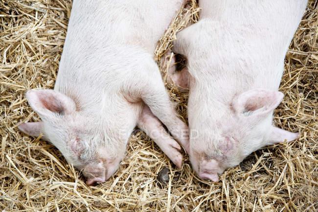 Twin piglets sleeping in straw — Stock Photo