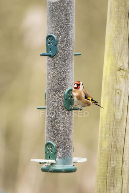 Uccello bella Cardellino — Foto stock