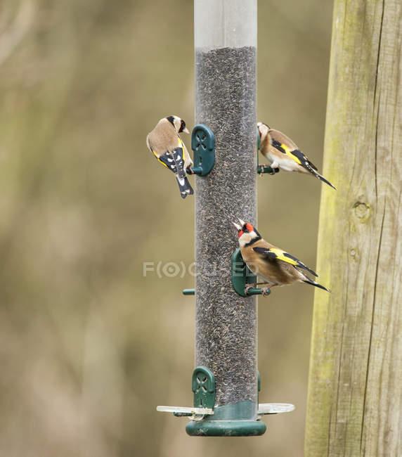 Uccelli Cardellino bella — Foto stock