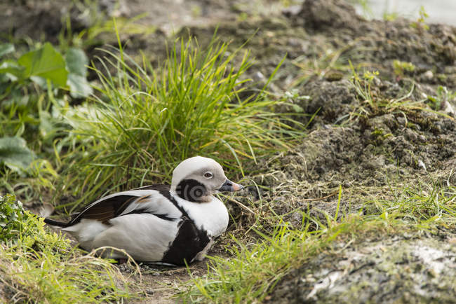 Beautiful long tailed duck — Stock Photo