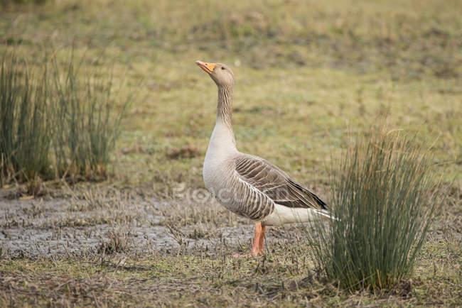 Bella oca selvatica — Foto stock