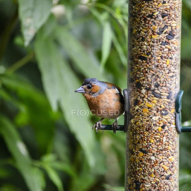 Зяблик на фидер птицы — стоковое фото