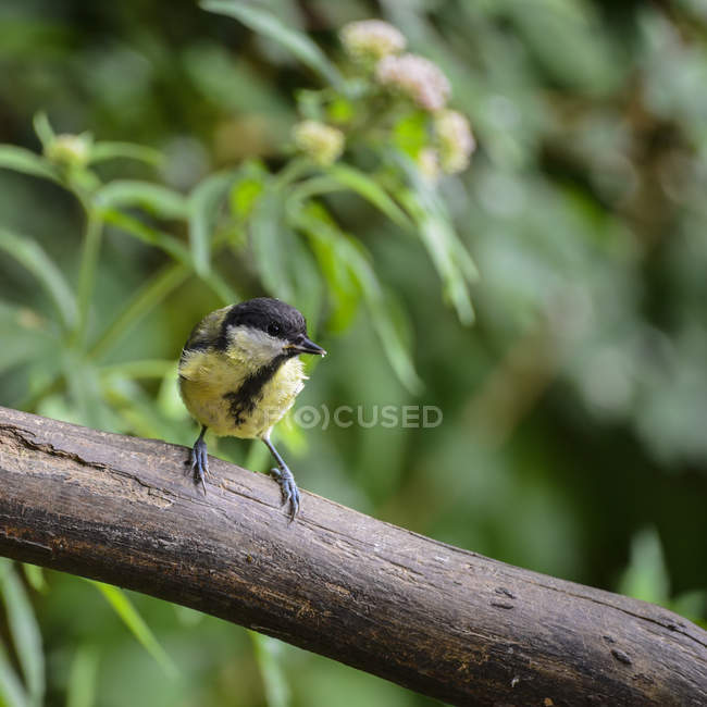 Great Tit on branch in tree — Stock Photo