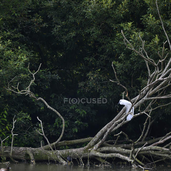 Egret perched on branch on dead tree — Stock Photo