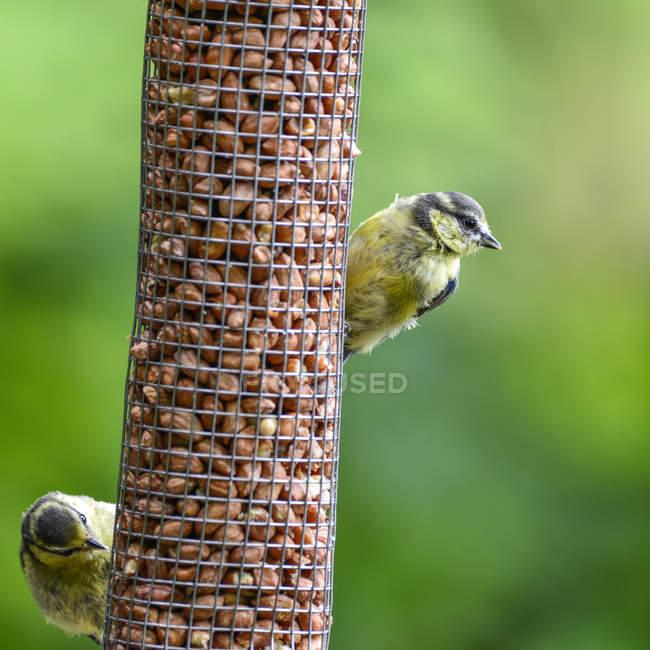 Сад Лазоревка на фидер птицы — стоковое фото