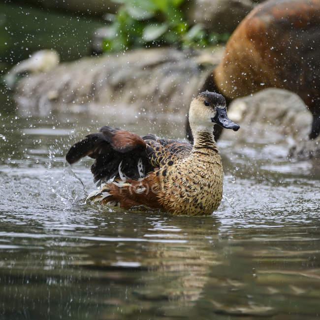 Блуждающие свистящая утка куриных очистки себя — стоковое фото