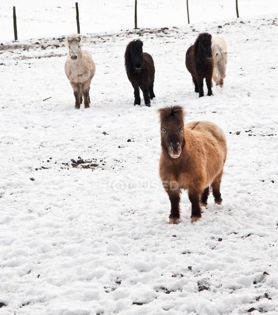Pôneis de Shetland em campo coberto de neve — Fotografia de Stock