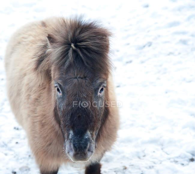 Pônei em campo coberto de neve — Fotografia de Stock