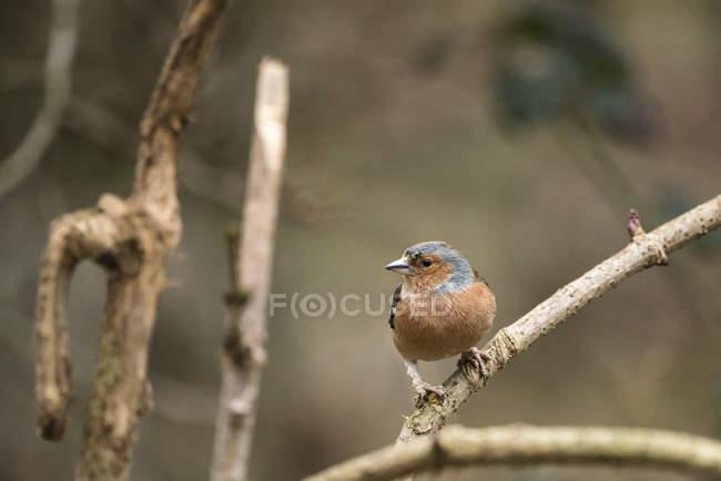 Красивые зяблик на фидер птицы — стоковое фото