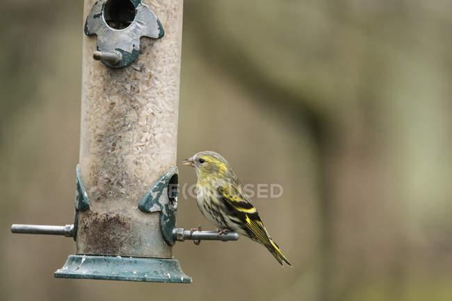 Siskin pássaro selvagem na coluna — Fotografia de Stock