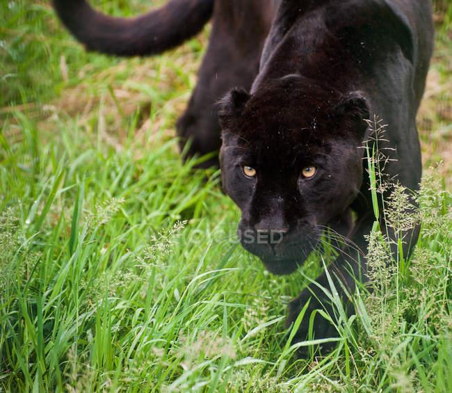 Schwarzer Jaguar Panthera onca auf Streifzug — Stockfoto