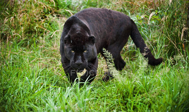 Noir jaguar Panthera Onca rôder — Photo de stock