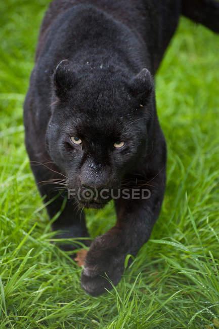 Schwarzer Leopard Panthera pardus — Stockfoto