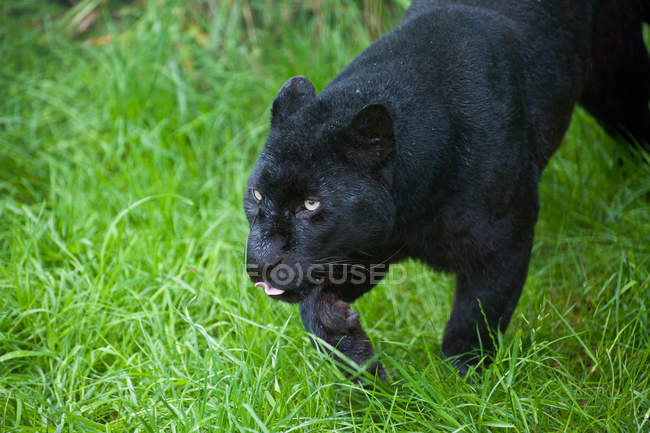 Noir léopard Panthera Pardus — Photo de stock