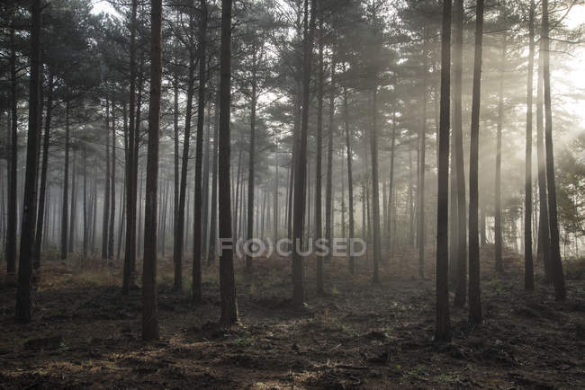 Paesaggio di mattina nebbiosa nella pineta — Foto stock