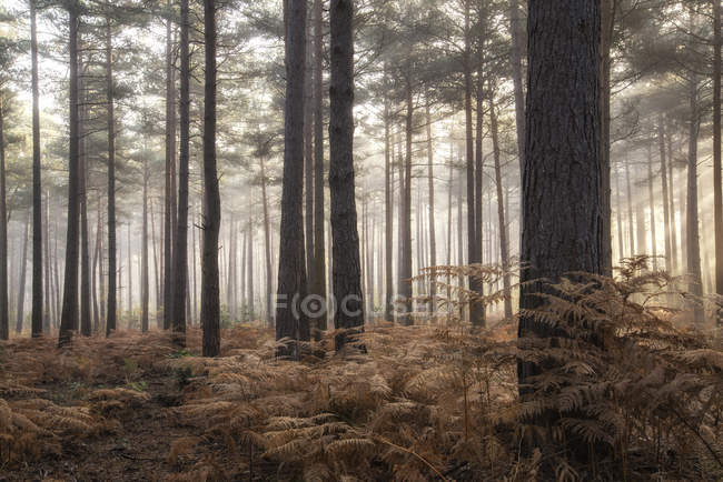 Ландшафт туманного утра в сосновом лесу — стоковое фото