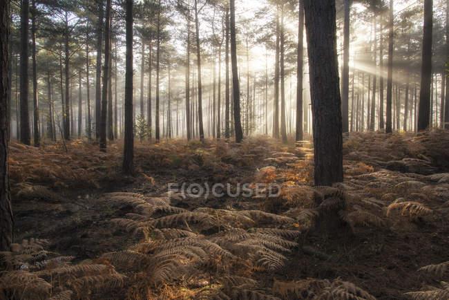 Paisaje de niebla mañana en el bosque de pinos - foto de stock
