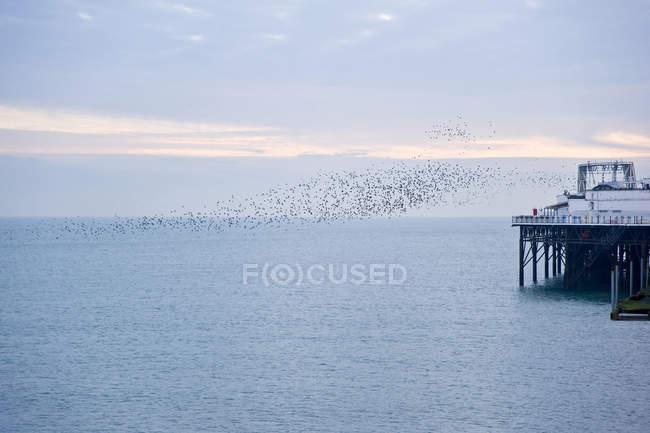 Storni la migrazione in formazione molto stretta — Foto stock