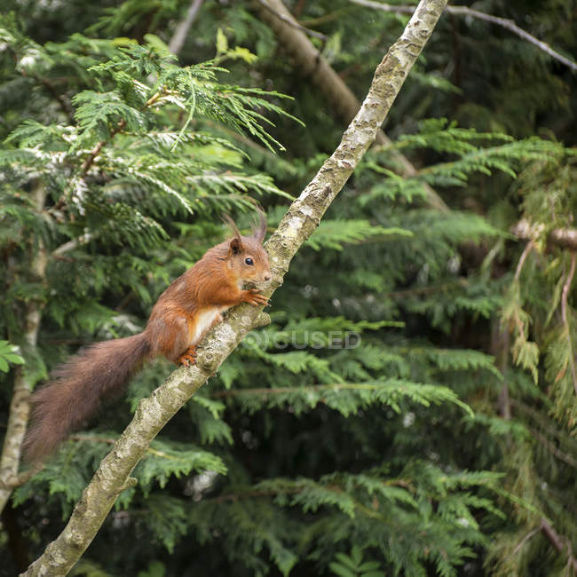Écureuil roux jouant dans l'arbre — Photo de stock