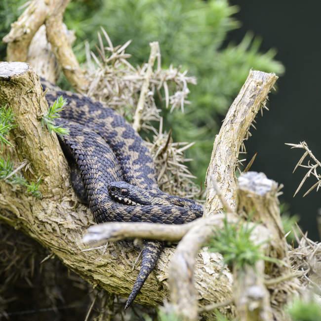 Addierer Schlange am Baum — Stockfoto