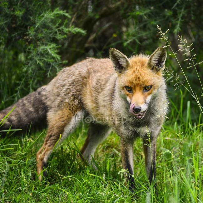 Лисиця руда лисиця лисиця — стокове фото
