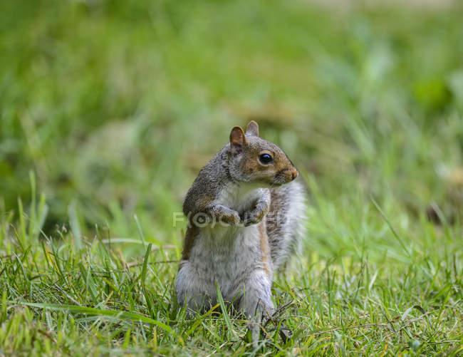 Esquilo cinzento na grama — Fotografia de Stock