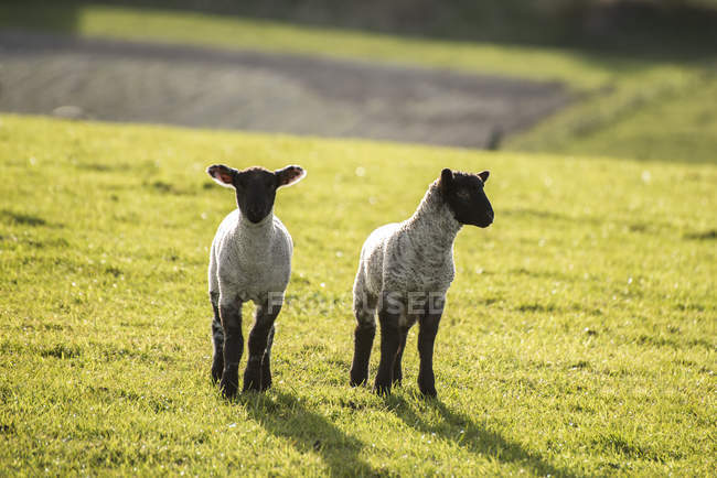 Spring lambs and sheep in fields — Stock Photo