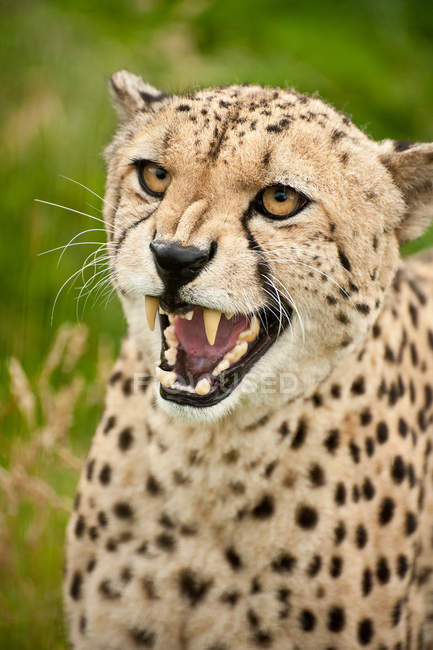 Guépard Acinonyx jubatus — Photo de stock