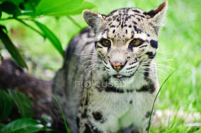 Димчастий леопард Neofelis Nebulova — стокове фото