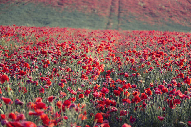 Summer poppy field — Stock Photo