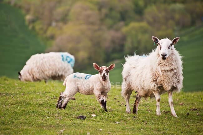 Cordeiros primavera e mãe de ovelha — Fotografia de Stock