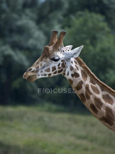 Close-up de focinho de girafa — Fotografia de Stock