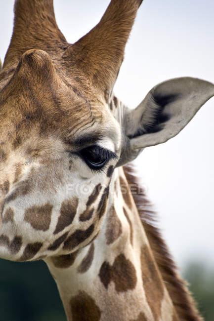 Primer plano del hocico de jirafa - foto de stock