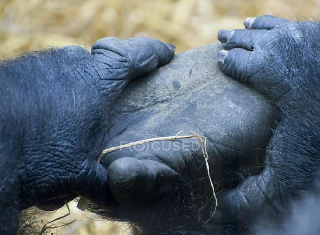 Close-up do pé de gorilas — Fotografia de Stock