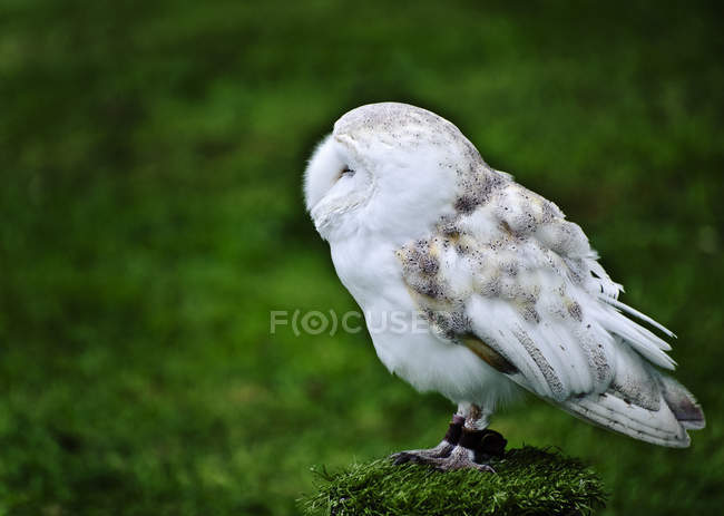 Barn owl on green grass — Stock Photo
