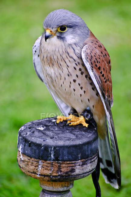 Male common kestrel — Stock Photo