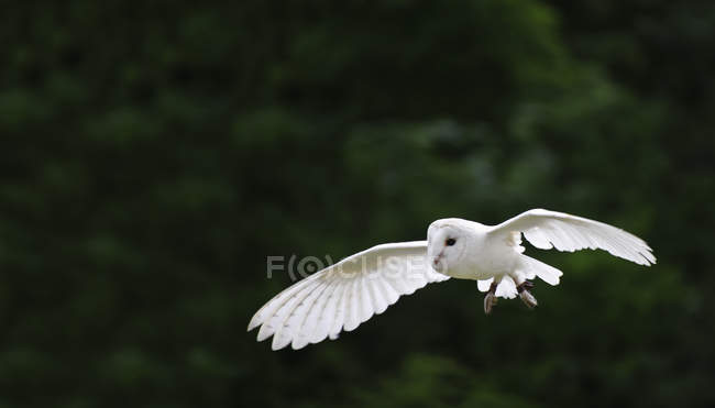 Flight of barn owl — Stock Photo