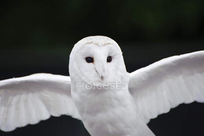 Volo del gufo di granaio — Foto stock