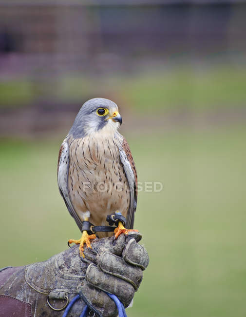 Falconry show with male kestrel — Stock Photo