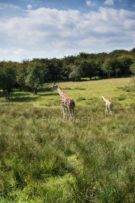 Duas girafas correndo em campo — Fotografia de Stock