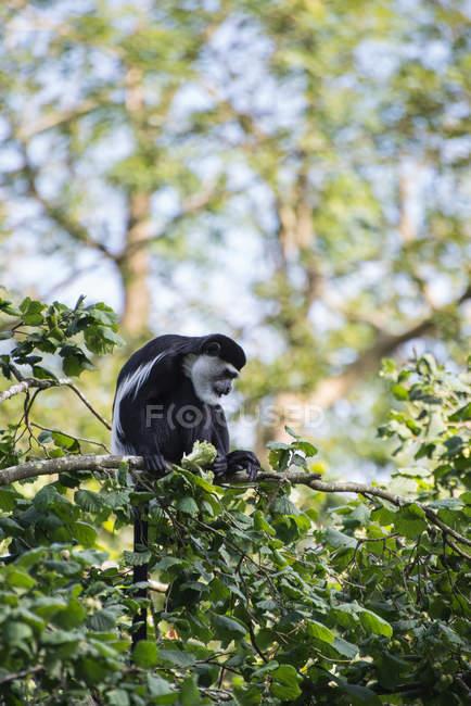 Macaco de Brazza nas copas das árvores — Fotografia de Stock