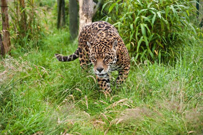 Grande gatto giaguaro che prowling attraverso erba lunga — Foto stock